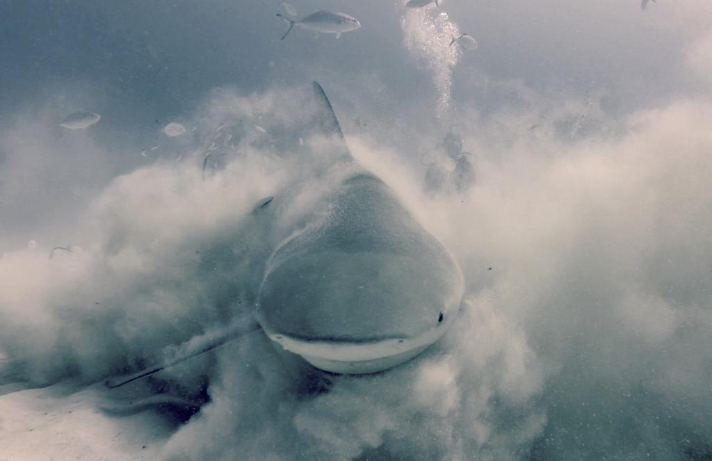 Playa Del Carmen Mexico Bull Shark Dive